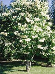 Japanese Ivory Silk Lilac