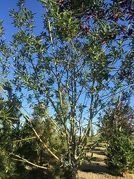 Prairie Reflection Willow