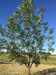 Prairie Green Spire Ash