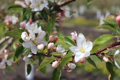 sept ruby blossom.JPG
