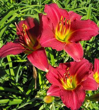 ruby stella daylily.jpg
