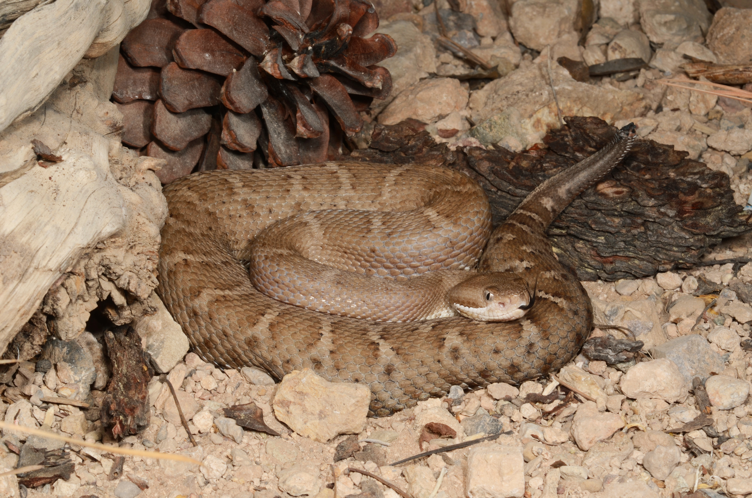Crotalus willardi silus, A1 adjusted.jpg