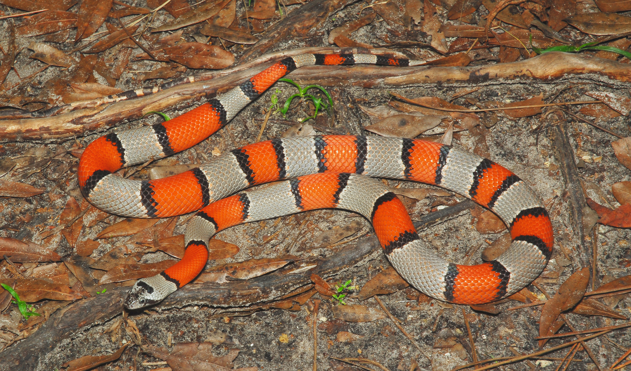Lampropeltis alterna