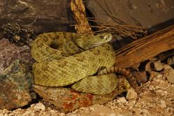 Crotalus viridis nuntius