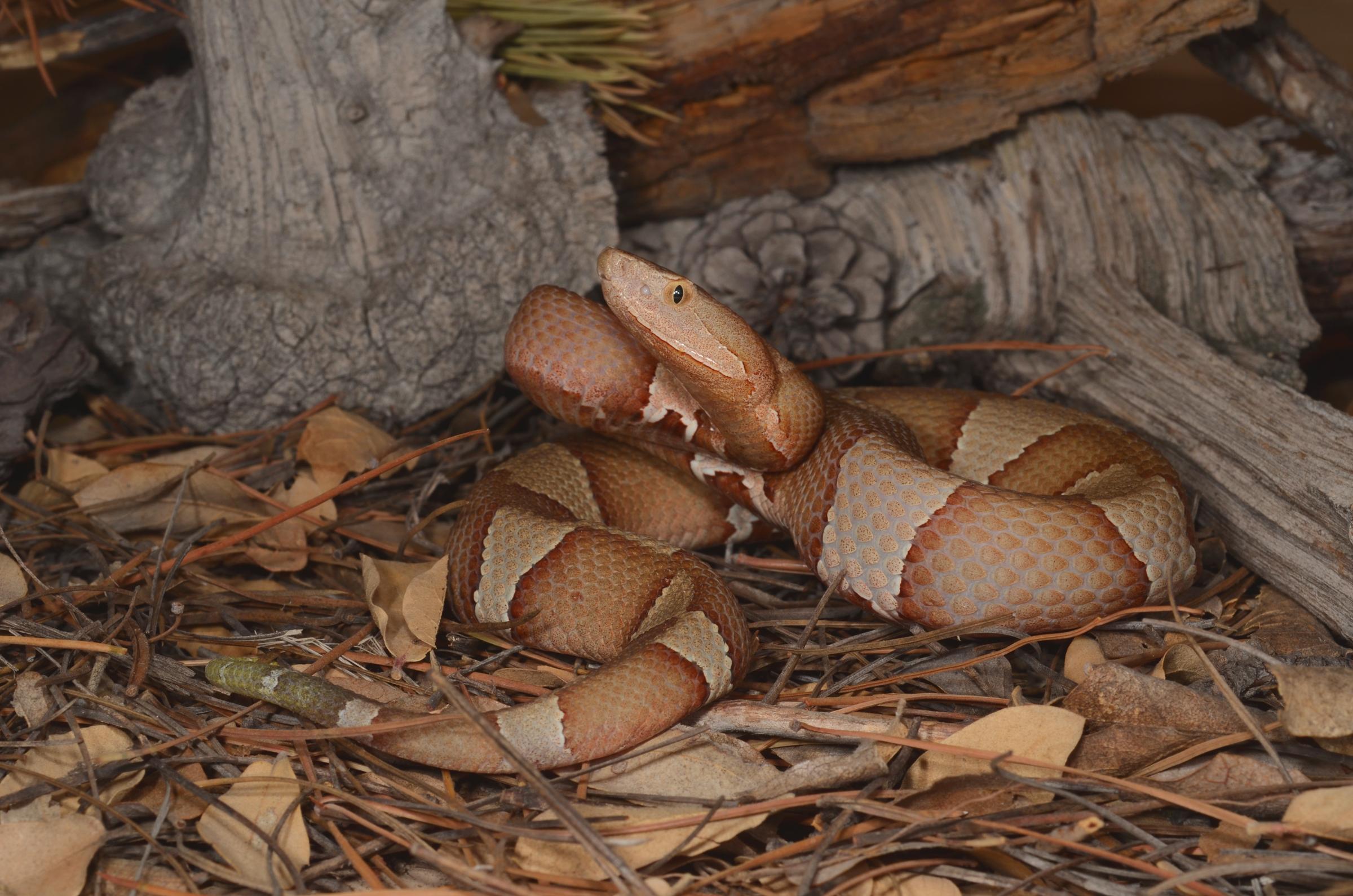 Agkistrodon contortrix laticinctus