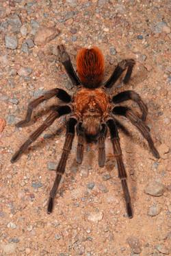 Arizona male tarantula