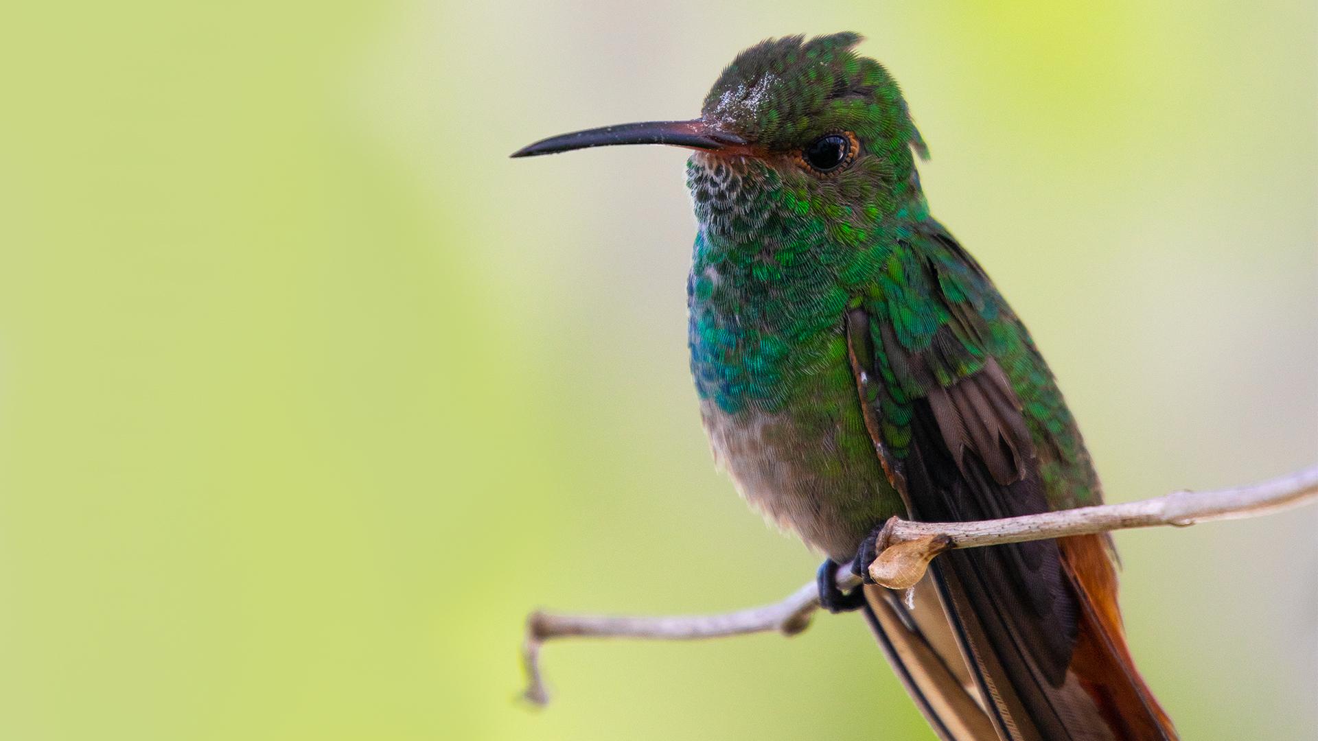 José Olmedo - @birdwatchingpanama