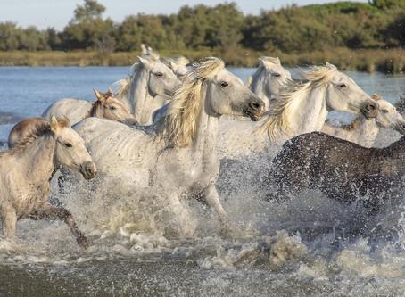 Les bonnes adresses en Camargue pour vos Balades à cheval