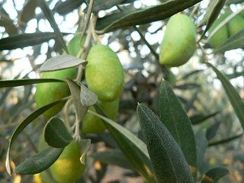 Olives_Lucques_arbre_Moulin du Mont Ramu