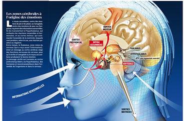 cerveau emotions.jpg