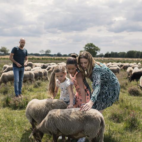 Schaapskuddes in Drenthe