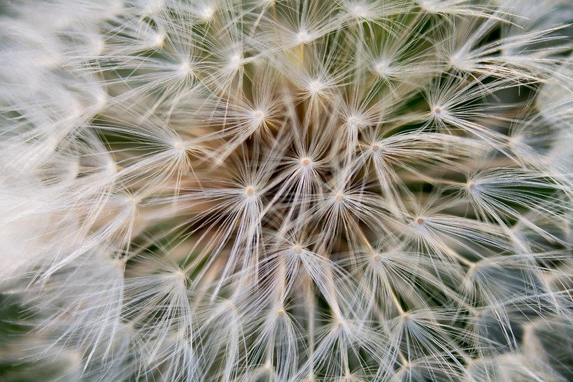 Nature's Geometry -Dandelion