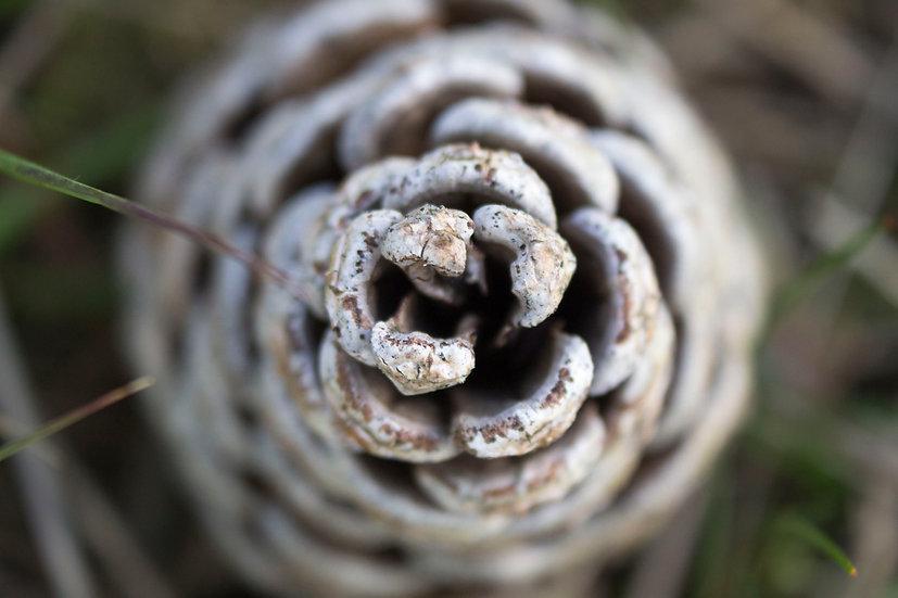 Nature's Geometry - Pinecone