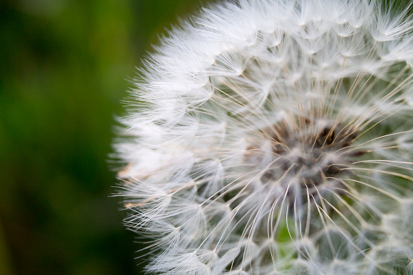 Nature's Geometry - Dandelion