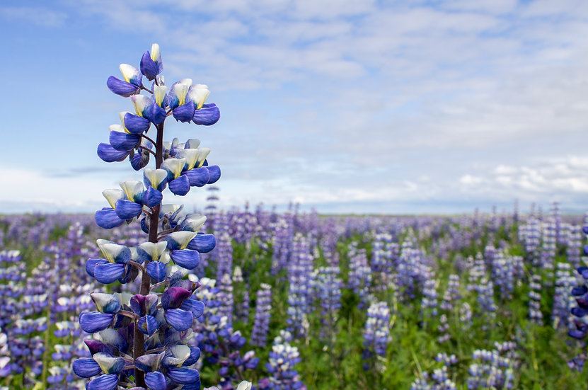 Iceland - Lupine