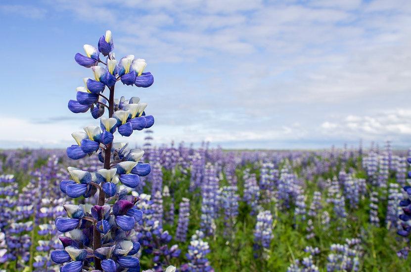 Iceland - Lupine