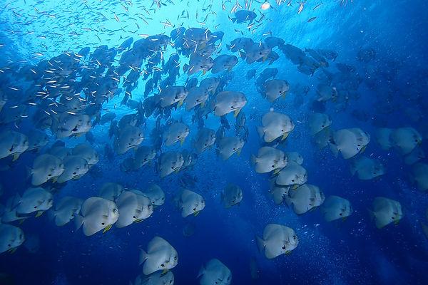 セイルロック ツバメウオ タイ タオ島 バンズダイビング