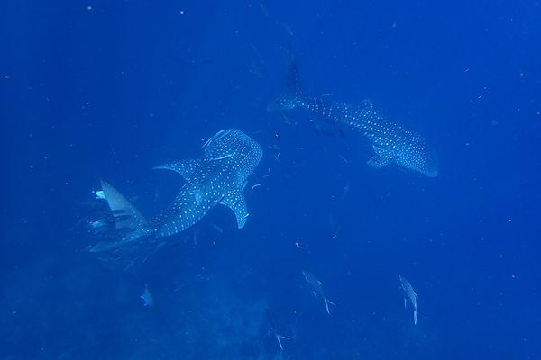 セイルロック ジンベエザメ タイ タオ島 バンズダイビング