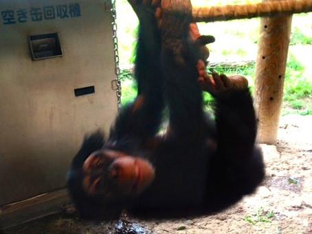 チンパンジーの身体の使い方