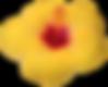 黄色のハイビスカス.png