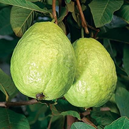 Fresh Guava - 1 Kg