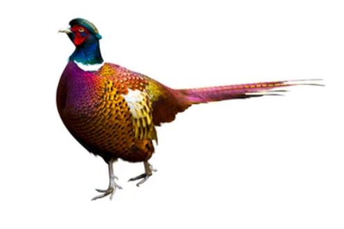 Kaliz (Pheasant) - Per Pc
