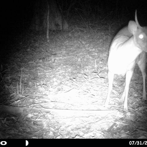 Brown Brocket Deer