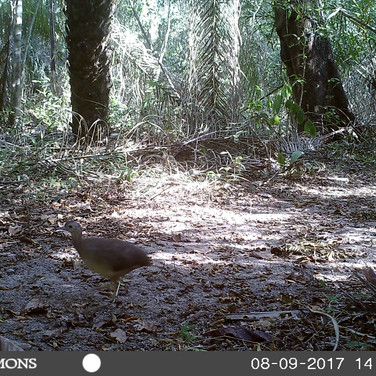 Ungulated Tinamou
