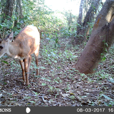 Brown Brocket Deer