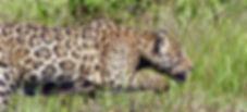 Mick Jaguar stalks a caiman