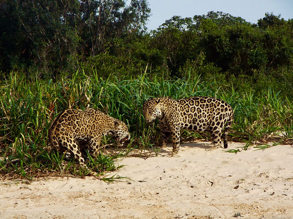 Two male jaguars fighting