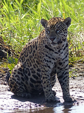Female jaguar on river bank