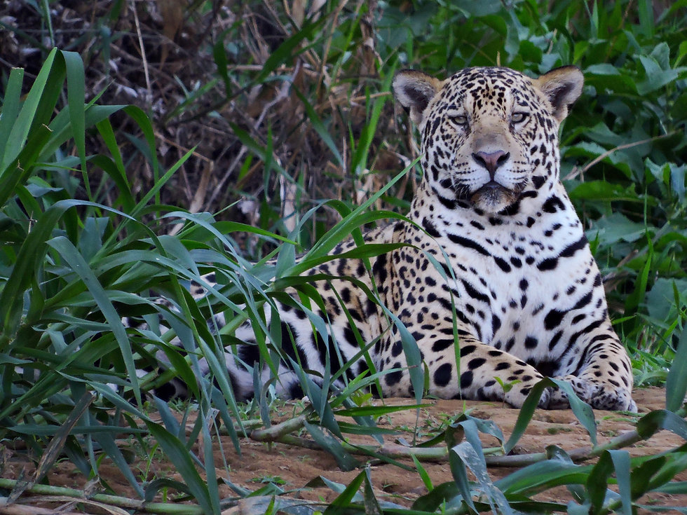 young male jaguar