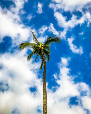 Wailea Palm Tree