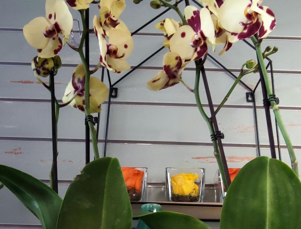 Orchidée verte tachetée