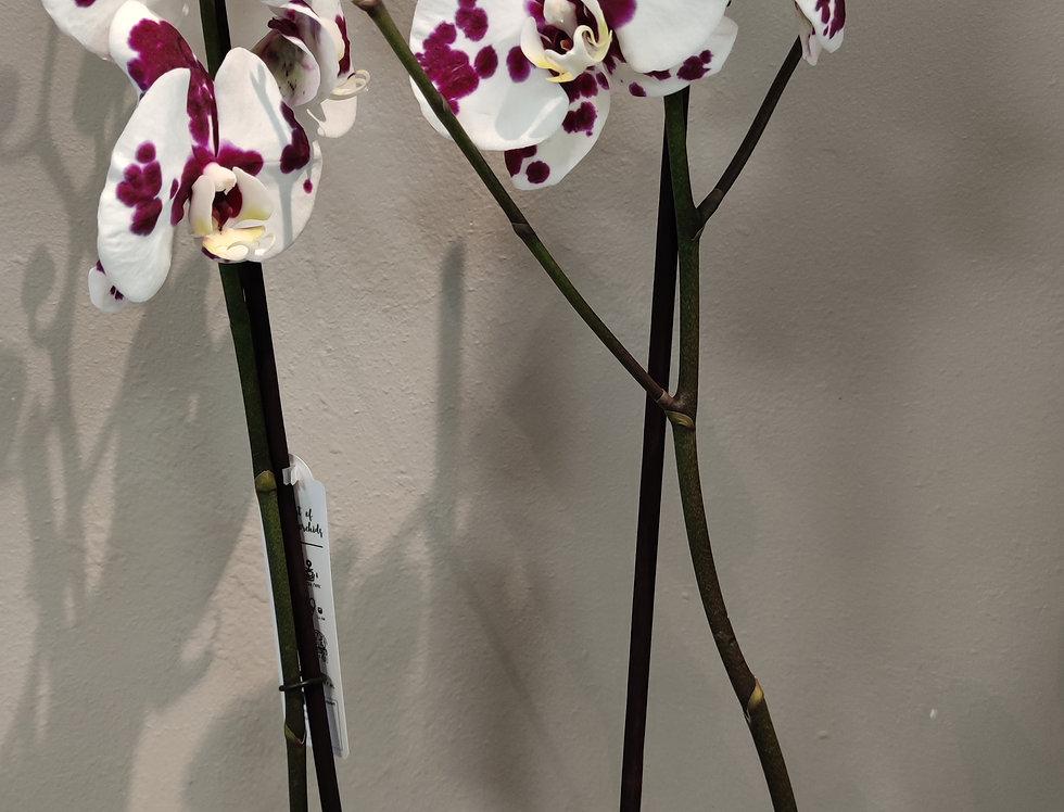 Orchidée dalmatien blanche et Bordeaux