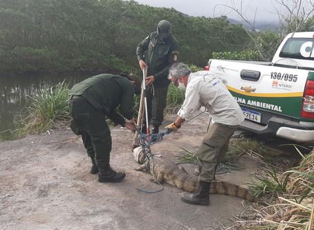 Guarda ambiental resgata jacaré de papo amarelo no Jardim Imbuí