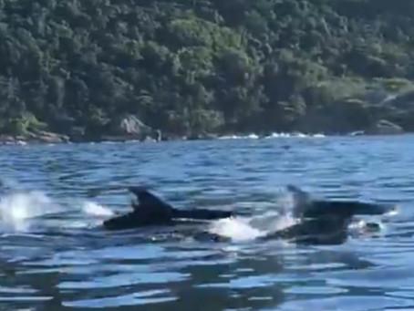 Grupo de golfinhos 'passeia' pelo mar de Piratininga e vídeo se torna viral