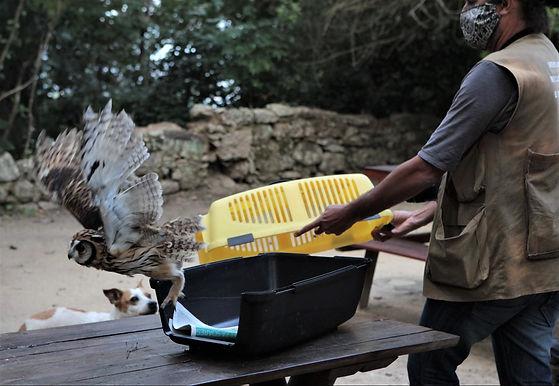 Maceió: Guardas resgatam coruja orelhuda