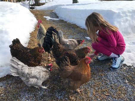 Sikkert vårtegn = hønene er ute på tur