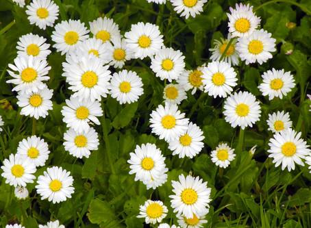 Macérat de Pâquerettes : quand la fleur de Pâques rend votre peau plus ferme !