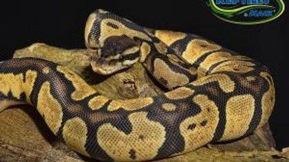 Juvinile Pastel Ball Python