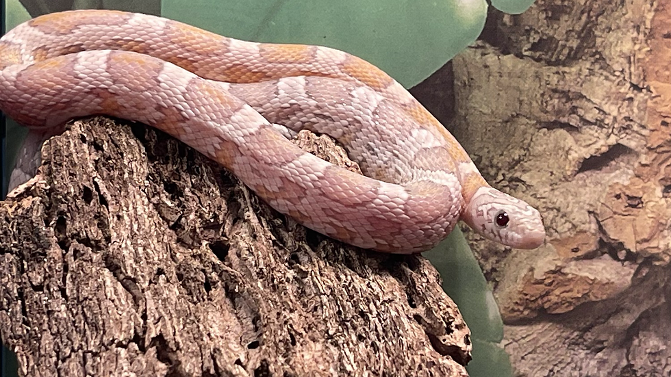 Juvinile Ghost Sunkissed Corn Snake