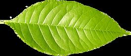 Single Green Leaf _edited.png