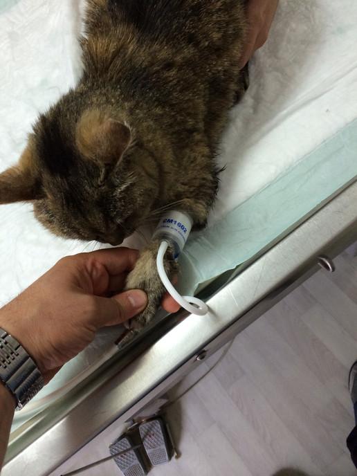 BP meausure in cat (1).JPG