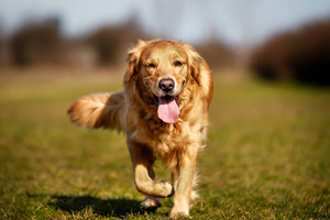 Tips to Help You Train Your Dog to Come Running with a Single Call