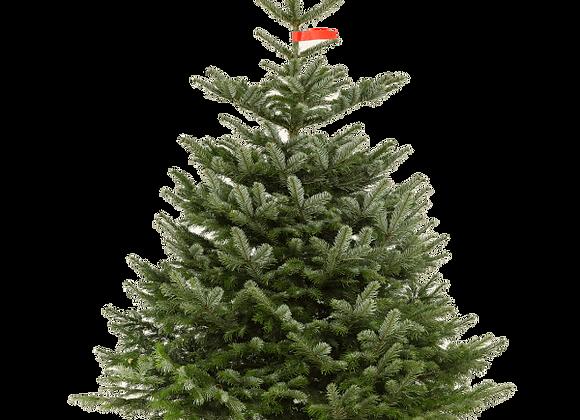 KB Kerstboom | 150 - 175