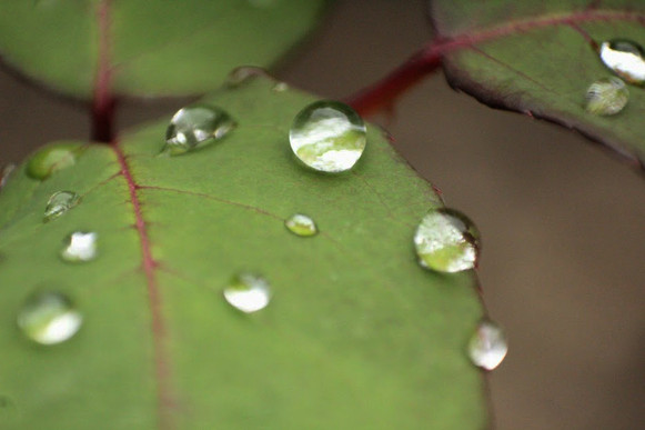 Drops of water on rose leafs