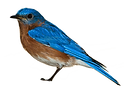 favpng_eastern-bluebird-sparrow-clip-art