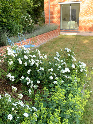 Take three plants - Rosa Kent, Alchemilla mollis and Lavendula Richard Gray